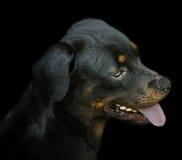 Schwarzes Rottweiler-Profil Stockfotografie