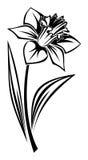 Schwarzes Schattenbild der Narzissenblume. Stockbilder