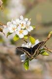 Schwarzes Schwalbe-angebundener Schmetterling Lizenzfreies Stockbild