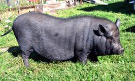 Schwarzes Schwein im Freien im Sommer lizenzfreies stockbild