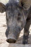 Schwarzes Schwein im landwirtschaftlichen Ackerland Stockfotografie