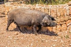 Schwarzes Schwein, Mallorca Lizenzfreie Stockfotos
