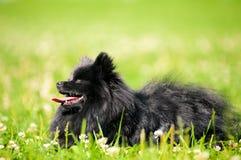 Schwarzes shpitz auf grünem Gras im Sommerpark Stockfotografie