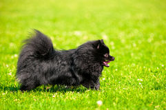Schwarzes shpitz laufen auf grünem Gras im Sommerpark Lizenzfreie Stockfotografie