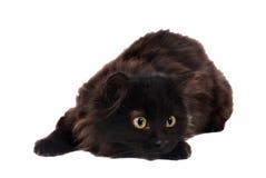 Schwarzes spielerisches Kätzchen Stockfotos