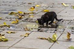 Schwarzes Straßenkätzchen trinkt die Spezies des Puddings im Herbst stockfoto