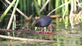Schwarzes Sumpfhuhn, das in See einzieht stock footage