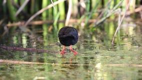 Schwarzes Sumpfhuhn, das in Teich einzieht stock video