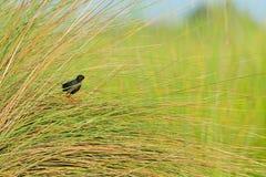 Schwarzes Sumpfhuhn, Zapornia-flavirostra, versteckt im Gras nahe dem Flusswasser Schwarzer Vogel mit dem roten Bein im Naturlebe lizenzfreies stockfoto