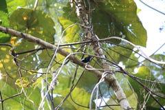 Schwarzes sunbird in Halmahera, Indonesien Stockfotos