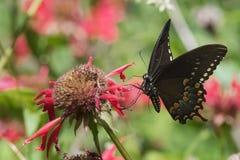 Schwarzes Swallowtail Lizenzfreies Stockfoto