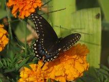 Schwarzes Swallowtail lizenzfreie stockfotografie
