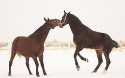 Schwarzes und braunes Pferd in der Koppel, die auf dem grauen Himmel spielt Stockbild