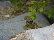 Schwarzes und gelbes Lava Lizard lizenzfreie stockfotografie