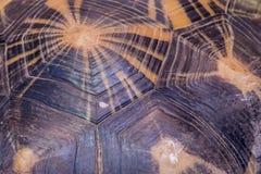Schwarzes und gelbes Muster der Schildpattschildkröte lizenzfreies stockfoto