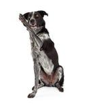 Schwarzes und Grey Border Collie Waving Lizenzfreie Stockfotografie