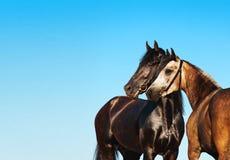 Schwarzes und helles Pferd des Doppeltporträts gegen den blauen Himmel Lizenzfreie Stockfotos