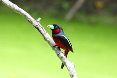 Schwarzes und rotes broadbill u. x28; cymbirhynchus macrorhynchos& x29; Stockfotografie
