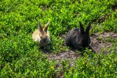 Schwarzes und rotes kleines lustiges Kaninchen mit den langen Ohren Lizenzfreie Stockfotos