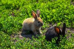 Schwarzes und rotes kleines lustiges Kaninchen mit den langen Ohren Stockfotos