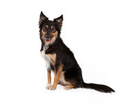 Schwarzes und Tan Border Collie Crossbreed Stockfotografie