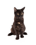 Schwarzes und Tan Domestic Longhair Kitten Sitting Stockfotografie