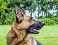 Schwarzes und Tan German Shepherd Headshot lizenzfreies stockbild