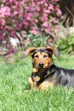 Schwarzes und TAN-Hund Stockfoto