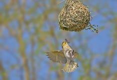 Schwarzes verdeckter Weber, der zu seinem Nest fliegt stockfotos