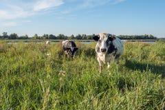 Schwarzes Weiß beschmutzte Kühe in einer Landschaft mit hohem Gras Stockfoto