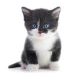 Schwarzes weißes Kätzchen Lizenzfreie Stockbilder