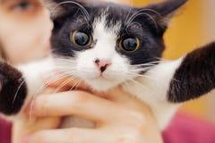 Schwarzes weißes Kätzchen mit dem großen Augenhändchenhalten Stockfotos