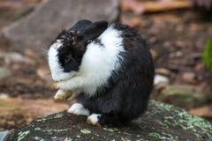 Schwarzes weißes Kaninchen Lizenzfreie Stockfotos