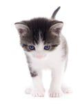 Schwarzes weißes Kätzchen Stockfotografie