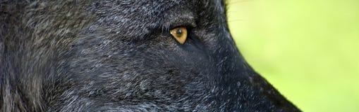 Schwarzes Wolfauge Stockfoto