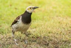 Schwarzhalsstarvogel (Sturnus nigricollis) Stockbild