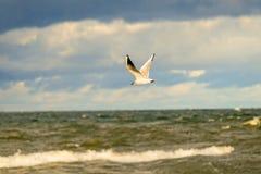 Schwarzköpfige Möve, die tief über die Ostsee fliegt lizenzfreie stockbilder