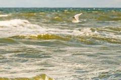 Schwarzköpfige Möve, die tief über die Ostsee fliegt lizenzfreies stockfoto