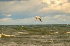 Schwarzköpfige Möve, die tief über die Ostsee fliegt lizenzfreie stockfotos