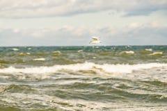 Schwarzköpfige Möve, die tief über die Ostsee fliegt lizenzfreie stockfotografie
