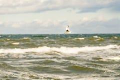 Schwarzköpfige Möve, die tief über die Ostsee fliegt lizenzfreies stockbild