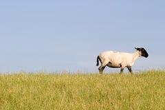 Schwarzköpfige Schafe Stockfoto