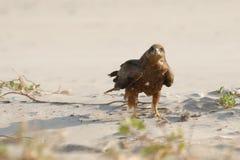 Schwarzmilan auf Sandstrand Stockbild