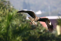 Schwarzmilan, das niedrig in Park fliegt Lizenzfreie Stockbilder