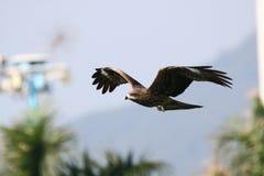 Schwarzmilan, das niedrig in Park fliegt Lizenzfreies Stockfoto