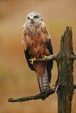 Schwarzmilan, Milvus-migrans, brauner Raubvogel sitzenden Lärchenbaumast, Tier im Naturlebensraum Raubvogel im Wald Stockbilder
