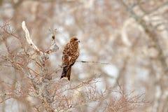 Schwarzmilan, Milvus-migrans, sitzend auf metallischem Rohrzaun mit Schneewinter schneebedeckter Tag Vogel auf der Wiese Japan-wi stockbild