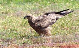 Schwarzmilan mit den Flügeln angehoben Lizenzfreie Stockfotografie