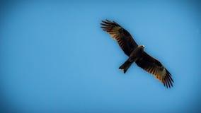 Schwarzmilan mit den verbreiteten Flügeln, die in blauen Himmel fliegen Stockbilder