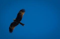 Schwarzmilan mit den verbreiteten Flügeln, die in blauen Himmel fliegen Lizenzfreie Stockfotos
